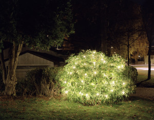 Lighted Bush